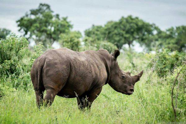 Rhino in Mozambique